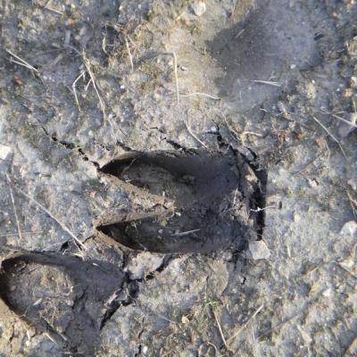 Sortie traces et indices d'animaux en Touraine