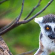 Lemur 3133038